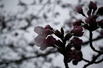 20170408 ochiai-k sakura.jpg