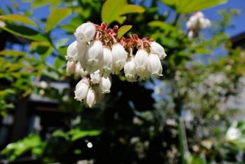 blueberry flower.jpg