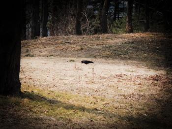 20180314 Asahiyama-P crow.jpg